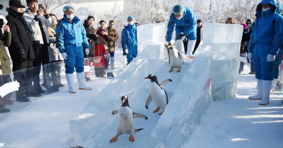 26.dez.2016 - Precisando dar uma refrescada? Pinguins do parque temático Harbin Polarland, na China, aproveitam um escorregador de gelo para se divertirem nesta segunda (26)