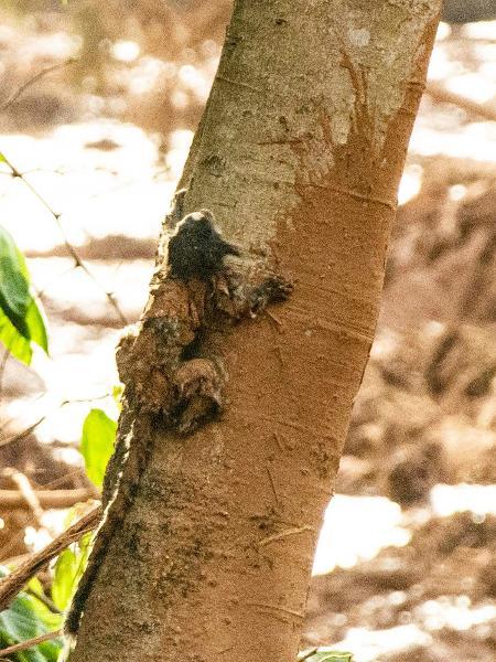 Com resquícios de lama, sagui sobe pelo tronco de uma árvore na região atingida pelo rompimento de uma barragem da Vale em Brumadinho, em Minas Gerais - Fábio Barros/Agência F8/Estadão Conteúdo