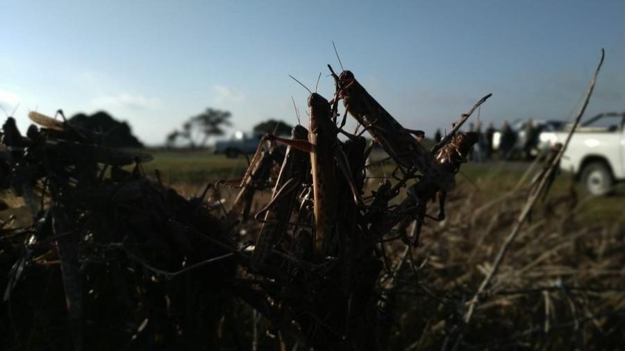 Autoridades brasileiras estão de olho nos ventos e na chegada do frio, que podem impedir os insetos de entrarem no país - Divulgação/Senasa/Argentina