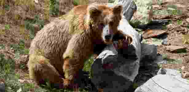 Urso 2 - Getty Images - Getty Images