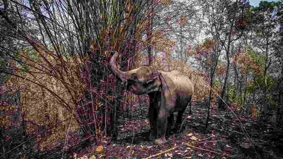 Elefantes mal alimentados e acorrentados em lugares turísticos vazios devido à pandemia do coronavírus estão passando fome na Tailândia - THAI ELEPHANT ALLIANCE ASSOCIATION/AFP