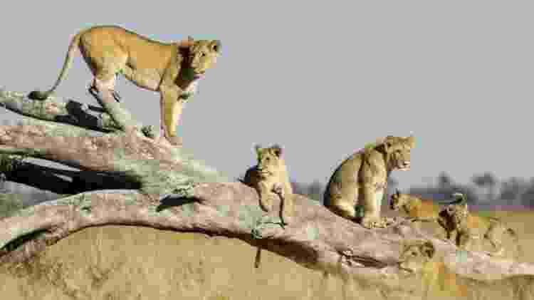 As leoas julgam quantos intrusos podem enfrentar antes de se aproximarem - Getty Images - Getty Images