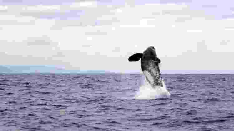 Orcas saltando no oceano - BBC - BBC