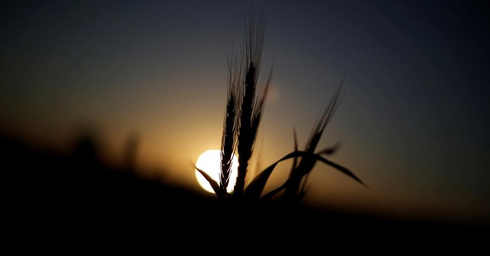 27.set.2016 - Trigo cresce com o pôr do sol ao fundo, em fazenda agrícola na cidade inundada de Nova Gales do Sul, na Austrália
