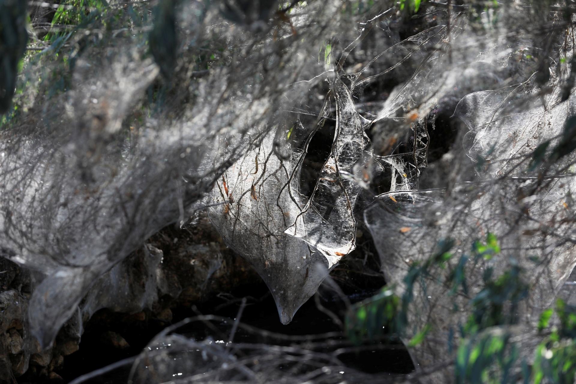 8.nov.2017 - No entanto, enquanto os ovos das aranhas estão por todos os lados nas margens do riacho, o futuro do local é incerto. A queda da temperatura em breve causará uma baixa na população de mosquitos que alimenta as tecelãs