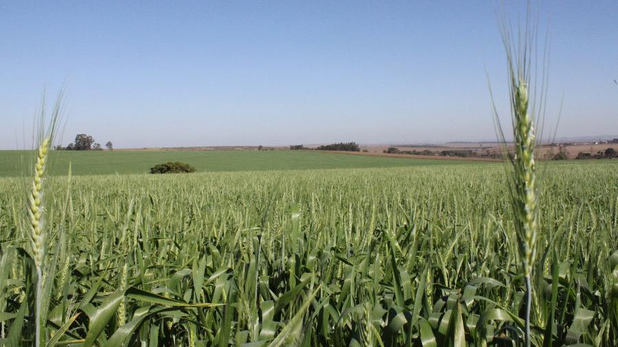 Brasil ampliou cultivo de trigo ao longo dos anos, mas primeiras plantações na região Nordeste são anteriores ao governo Bolsonaro - Mauro Zafalon/Folhapress