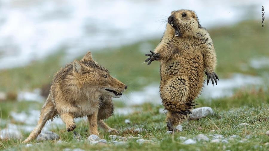 Foto do momento em que marmota se assusta com ataque de raposa foi premiada em concurso inglês - Divulgação/Yongqing Bao/Natural History Museum