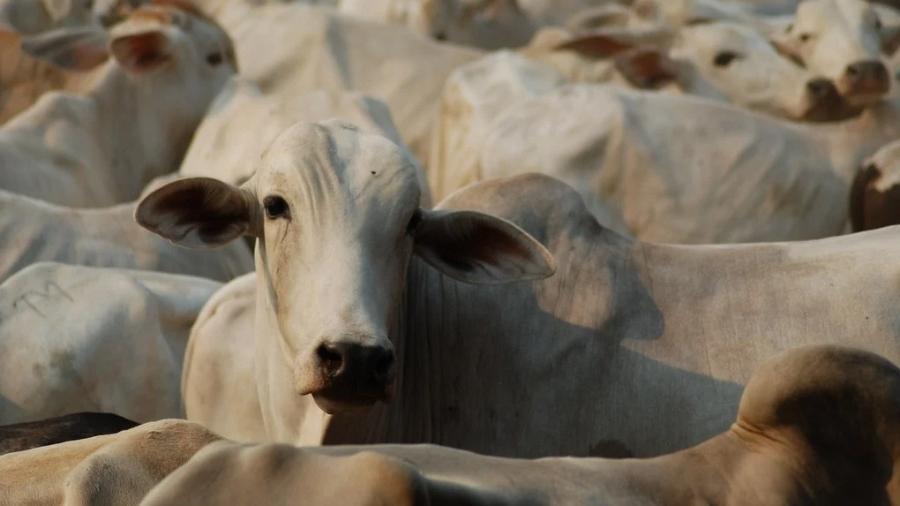 Investigação mostra violações socioambientais na cadeia da Minerva, Mercúrio e Agroexport, maiores exportadores de animais vivos do país - A C Moraes/Repórter Brasil