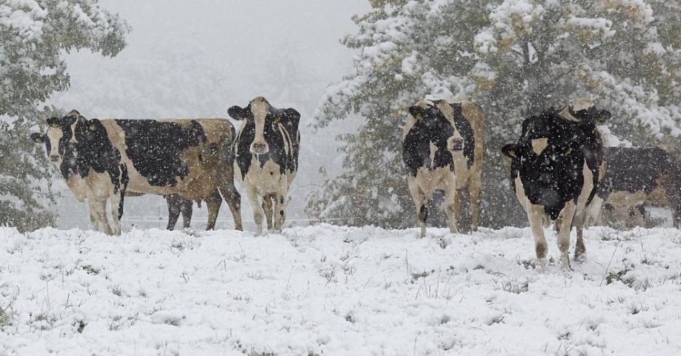 14.out.2015 - Primeira neve do outono 2015 na Alemanha cobre pastagens próximo a cidade de Bendorf-Stromberg, na região ocidental do país