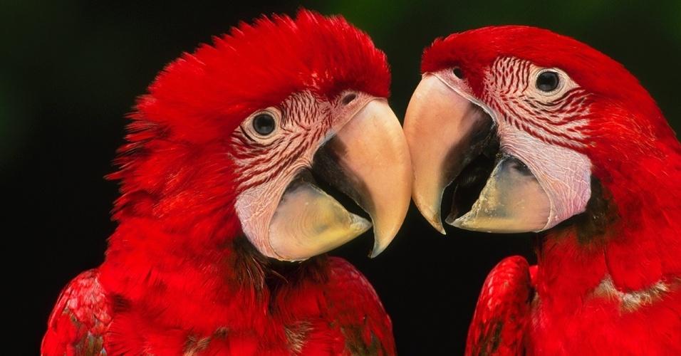 12.abr.2016 - Araras-vermelhas na Reserva Nacional de Tambopata, no Peru. Várias espécies de papagaios tropicais, que são nativas das Américas Central e do Sul, estão ameaçadas de extinção