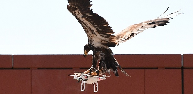 Em demonstração organizada pela polícia holandesa, águia é treinada para capturar drone