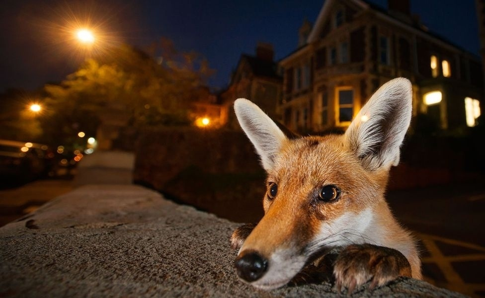 19.out.2016 - A raposa é um personagem clássico na fotografia de vida selvagem urbana.Nosy Neighbour (Vizinho Curioso), de Sam Hobson, foi tirada em Bristol, no Reino Unido. Ele passou semanas para conquistar a confiança de uma família de raposas e se aproximar