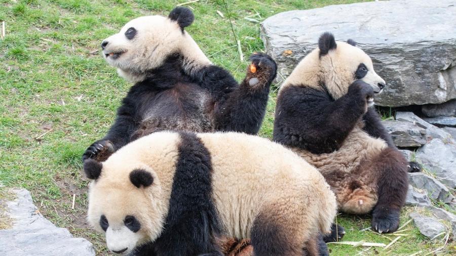 """Panda são chamados de """"gigantes"""" pelo próprio zoológico - Reprodução/Facebook"""