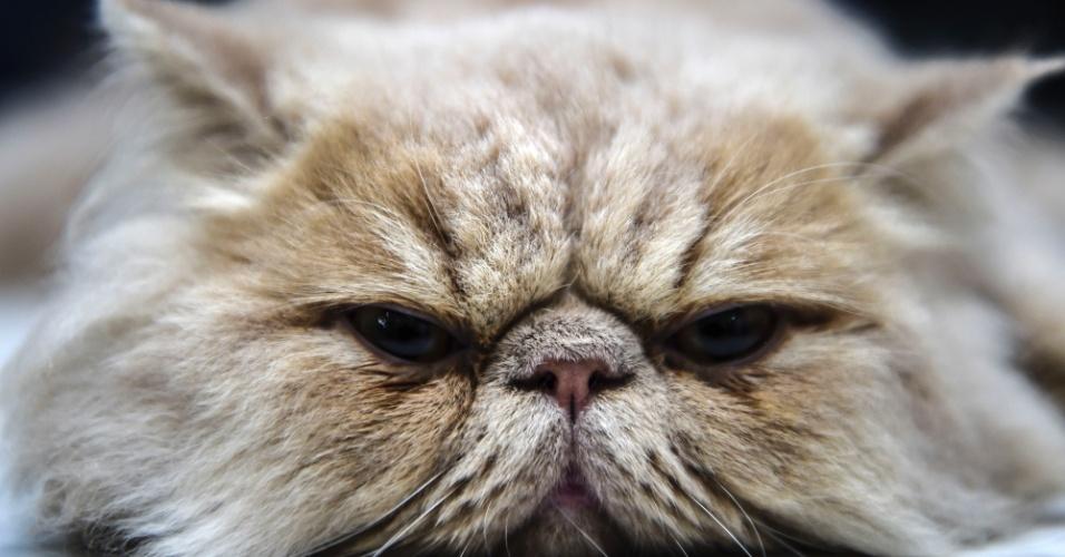 17.out.2016 - Gato persa relaxa durante concurso organizado pela Federação Mundial Cat (WCF) em Istambul, na Turquia