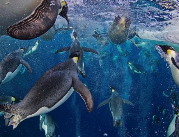 MERGULHADORES OLÍMPICOS - Os pinguins adoram nadar e conseguem mergulhar bem fundo. Os imperadores são os recordistas em profundidade e tempo de mergulho. De acordo com o jornal britânico Guardian, há registro de pinguins que mergulharam a 564 metros de profundidade - o equivalente a quase o dobro da altura da Torre Eiffel. O tempo máximo de um pinguim debaixo d'água que se tem registro é de cerca de 28 minutos