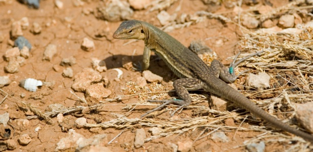 Algumas espécies de lagarto rabo-de-chicote só têm fêmeas