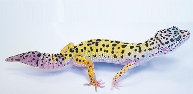 Lagartixa-leopardo com rabo regenerado - Matthew Vickaryous