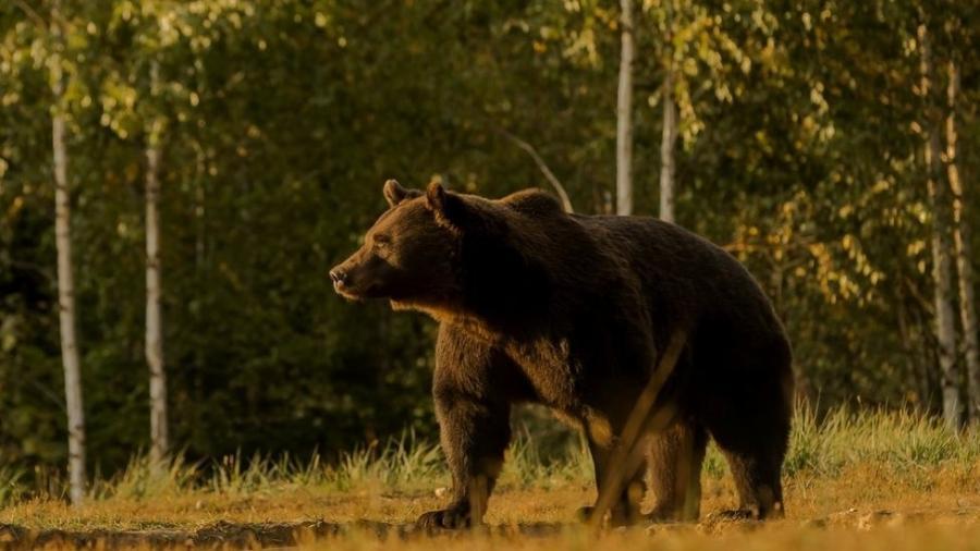 Arthur era o maior urso da Romênia e provavelmente de toda a União Europeia - Agent Green