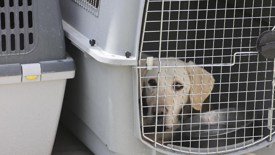Dezenas de cachorros foram abandonados no aeroporto de Cabul durante as caóticas operações de retirada após o retorno dos talibãs ao poder - Karim SAHIB / AFP