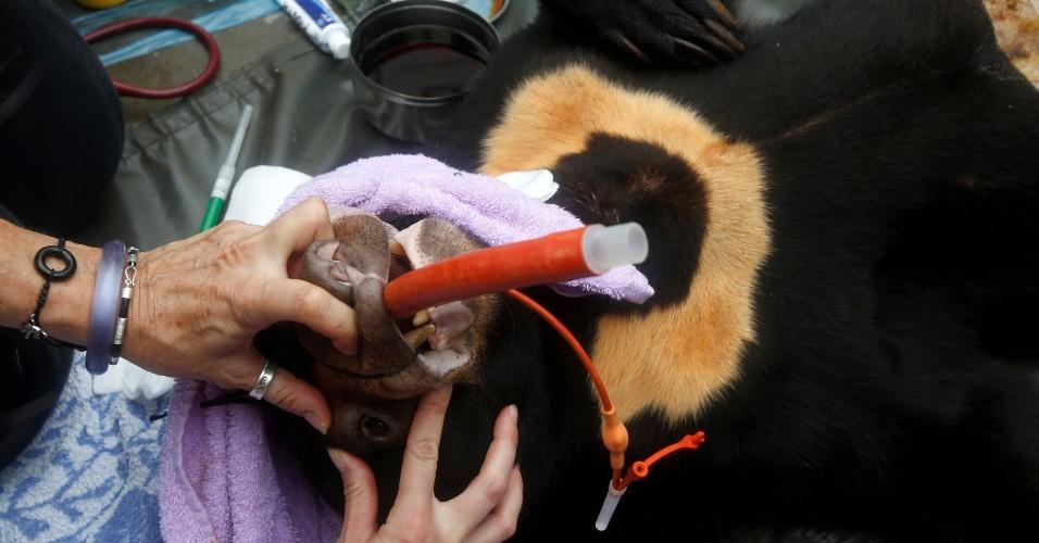 18.ago.2016 - Um urso-malaio mantido por uma família no Vietnã foi resgatado na cidade de Nam Dinh por membros de uma fundação asiática que resgata ursos. Após ser libertado, o animal passou por exames médicos de veterinários em meio a transeuntes