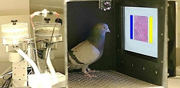 Nível de precisão das pombas nos testes foi de 99%