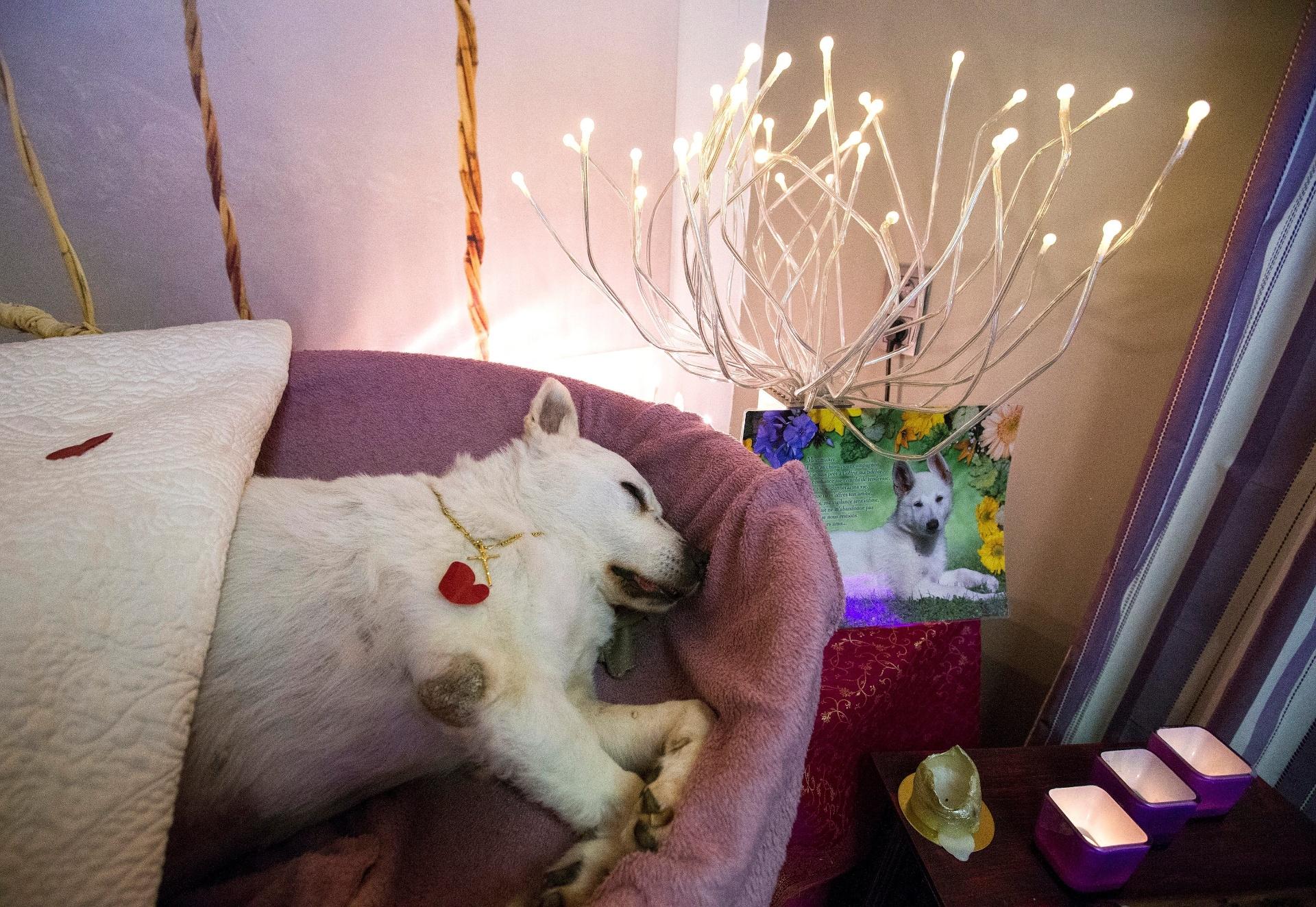 20.mai.2016 - A pastora canadense Bianca teve um funeral de alto nível, feito pela Animatrans, que afirma ser a primeira na Bélgica a oferecer o serviço exclusivamente para animais. A empresa é especializada em funerais, cremação e até empalhamento de animais de estimação