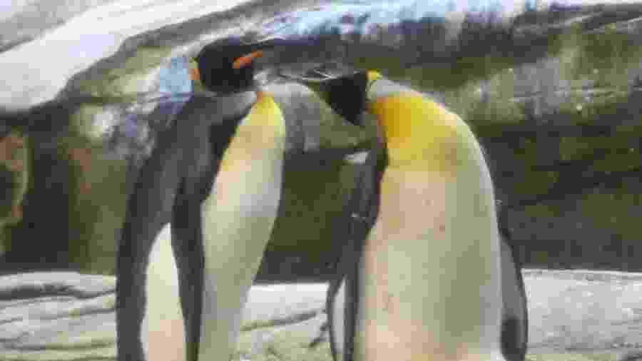 15.ago.2019 - Skipper e Ping são fotografados tomando conta de um ovo de outro casal de pinguins no zoológico de Berlim - Tobias Schawrz/AFP