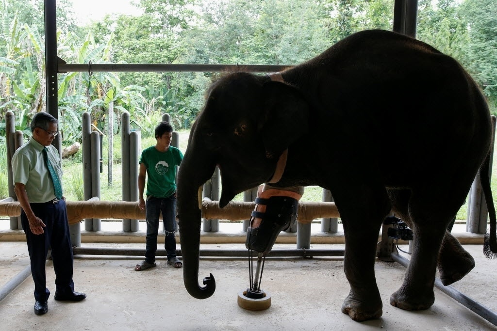 Na medida em que crescia, Mosha recebia uma nova prótese adaptada ao seu peso e anatomia.Quando pedeu a perna, a elefante tinha 600 quilos; agora, pesa duas tolenadas.