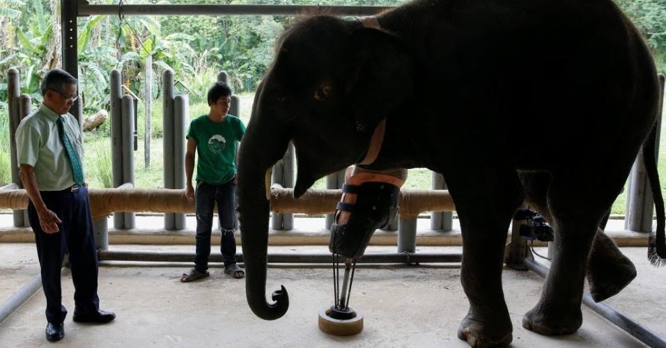 """Na medida em que crescia, Mosha recebia uma nova prótese adaptada ao seu peso e anatomia.Quando pedeu a perna, a elefante tinha 600 quilos; agora, pesa duas tolenadas. """"A maneira como ela andava era desequilibrada e ia fazer sua espinha dobrar com o tempo. Ela teria morrido (se não recebesse a prótese)"""", afirma o cirurgião Therdchai Jivacate, que na foto avalia a prótese em Mosha"""