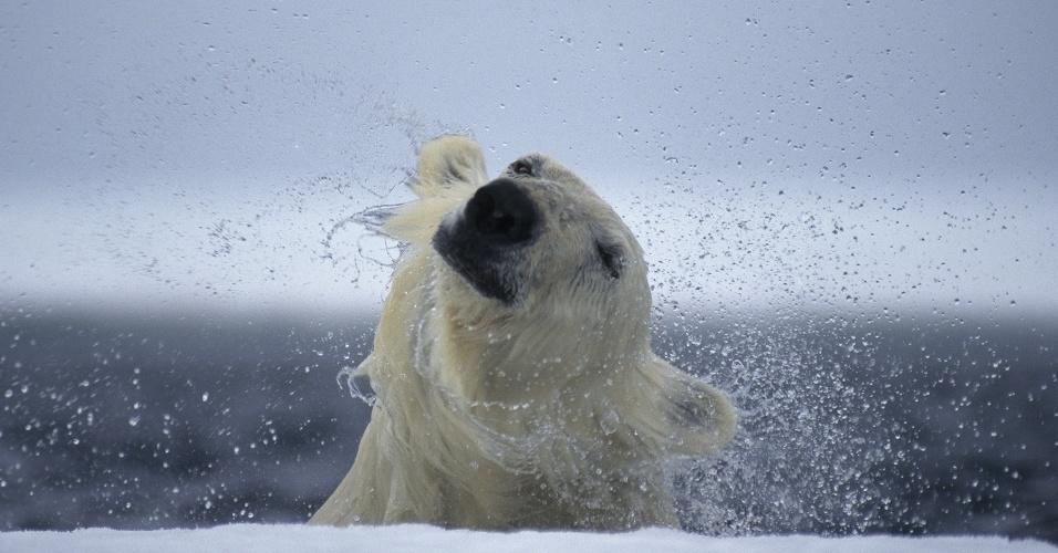 11.ago.2016 - Um urso polar em Nunavut, Canadá. Encontrado por todo o Ártico, os ursos polares frequentemente viajam grandes distância em pedaços de gelo que flutuam pela água