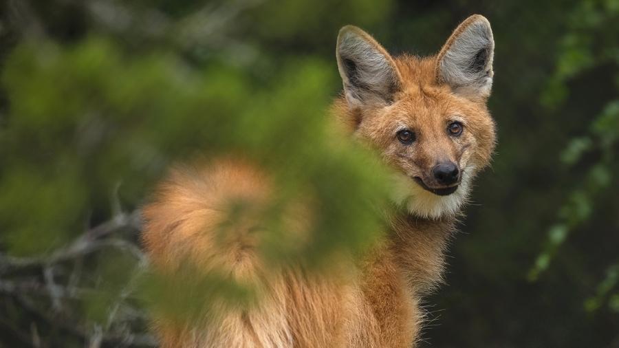O lobo-guará foi o animal escolhido para estampar a nota de R$ 200, anunciada em julho pelo BC - Divulgação/Fossil Rim