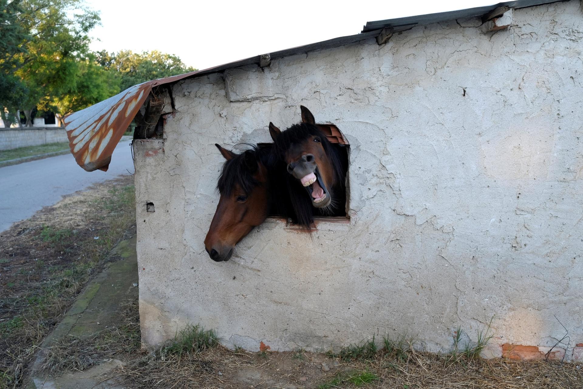27.mai.2016 - Dois cavalos colocam a cabeça para o lado de fora de um estábulo por um buraco na parede, no vilarejo de Pontoiraklia, na Grécia