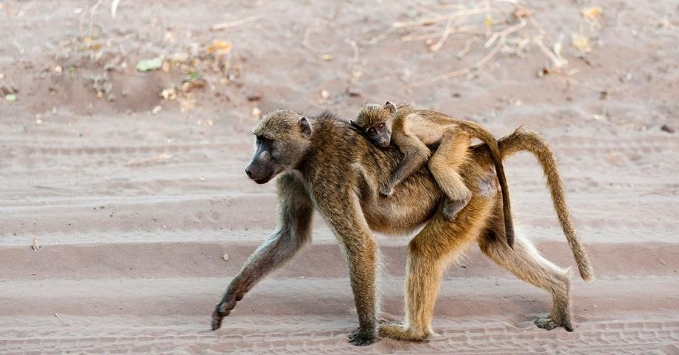 Uma mãe babuíno carrega seu filhote no Parque Nacional Chobe, em Botsuana. Nos primeiros quatro meses de vida, os babuínos vivem pendurados às mães, primeiro na barriga, depois nas costas