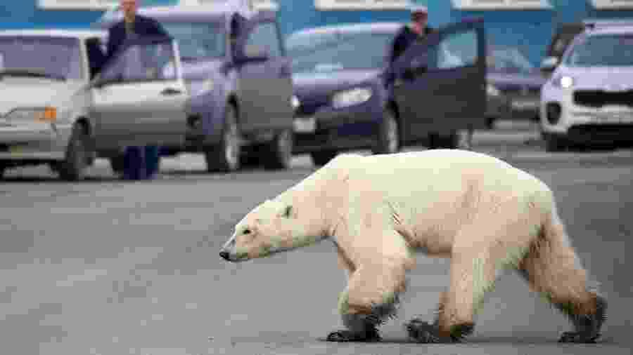 Uma ursa polar faminta foi encontrada na cidade de Norilsk, na Rússia, a milhares de quilômetros de seu habitat natural - AFP
