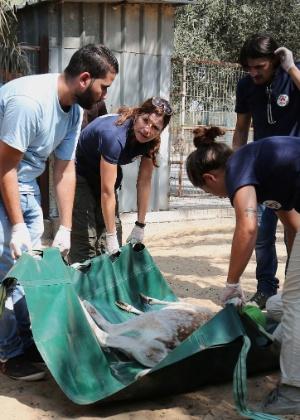 "Membros da ONG ""Four Paws"" carregam animal sedado no zoológico de Khan Yunis, na faixa de Gaza"