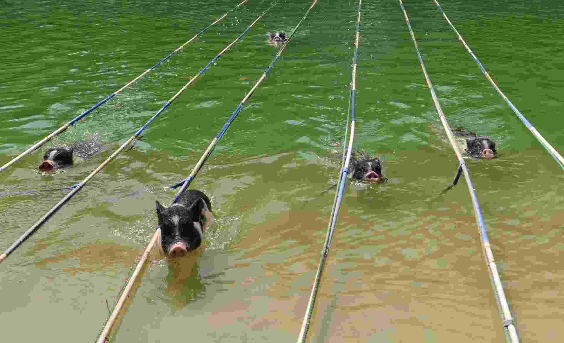 Porcos nadam em uma piscina Guangzhou, na província de Guangdong province - Reuters