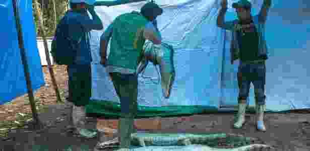 Caçadores de jacarés pesam o animal que trouxeram da caçada da noite anterior, em Cachichira, na Bolívia - Meghan Dhaliwal/The New York Times