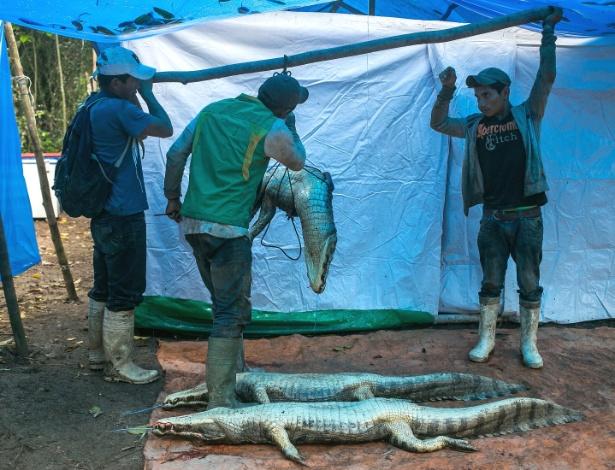 Caçadores de jacarés pesam o animal que trouxeram da caçada da noite anterior, em Cachichira, na Bolívia