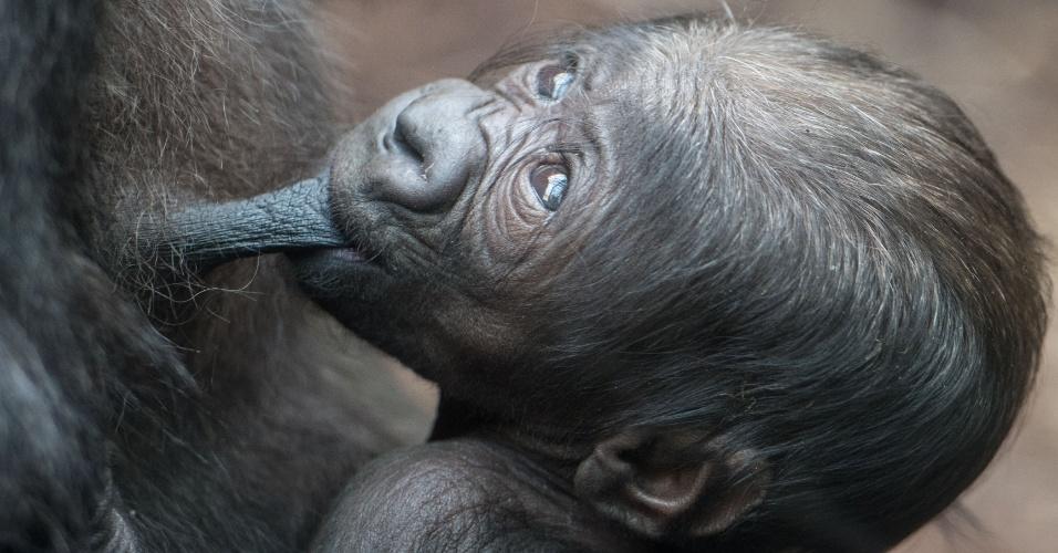 21.set.2016 - Filhote de gorila com seis dias de vida, mama no peito de sua mãe no jardim zoológico em Frankfurt, na Alemanha