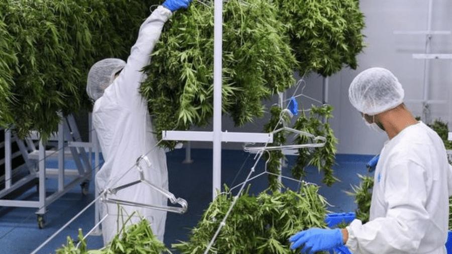 Uruguai chamou a atenção internacional do mundo com a legalização do mercado de maconha - AFP