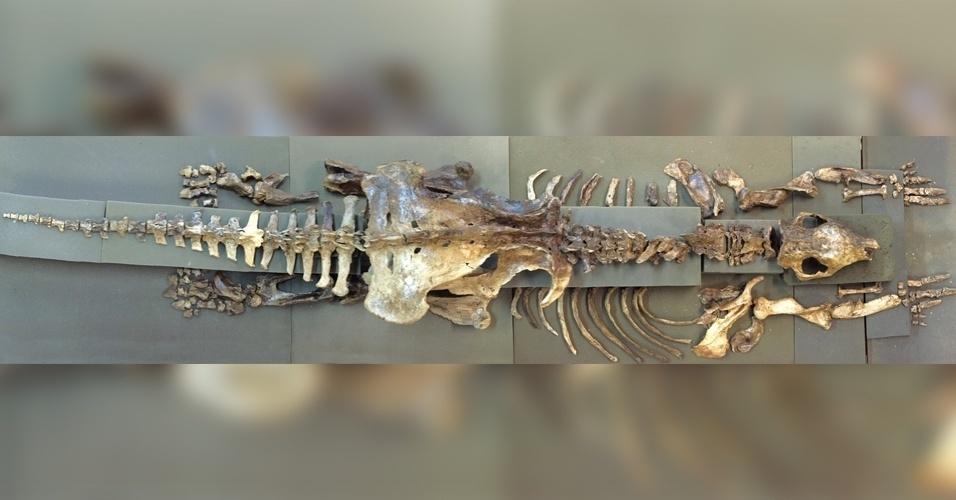 6.ago.2015 - O mais completo exemplar de um esqueleto de tatu-gigante foi encontrado numa caverna na região de Iramaia, na Chapada Diamantina (BA), durante expedição realizada por espeleólogos e pesquisadores da UFSCar (Universidade Federal de São Carlos).O bicho de 220 kg, que pertencia à espécie Holmesina major, era herbívoro e preferia uma dieta de grama, diferentemente dos insetos e outros pequenos animais consumidos por seus parentes de hoje