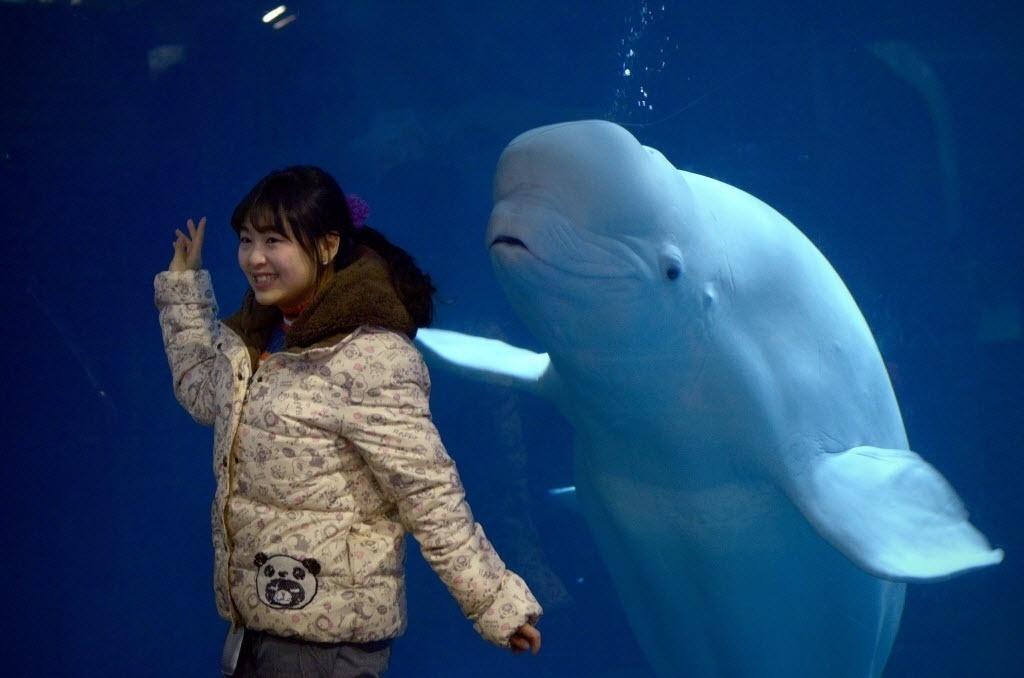 """11.jan.2016 - Chinesa sorri ao lado de uma baleia-branca que também fez """"pose"""" para as fotos em um zoológico de Pequim"""