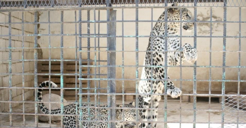 25.fev.2016 - Leopardos esperam por comida em uma gaiola no zoológico na cidade de Taiz, no Iêmen. Os bombardeios que atingem a região provocaram a morte de dezenas de animais. No zoológico, alguns morreram de fome ou pela falta de tratamento adequado para os ferimentos