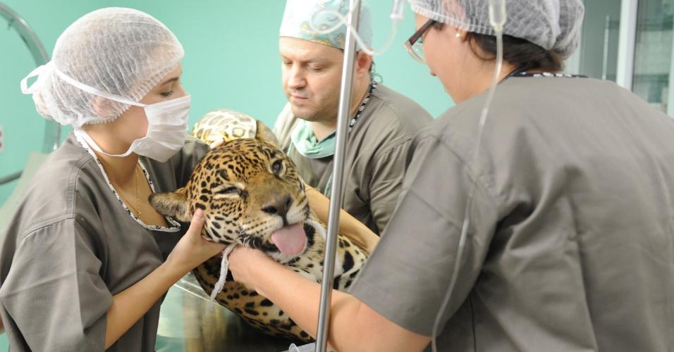31.mar.2016 - Equipe de veterinários movem a onça Angelina durante cirurgia para refazer o implante da pata fraturada no hospital Vet Plus, em Joinville, Santa Catarina