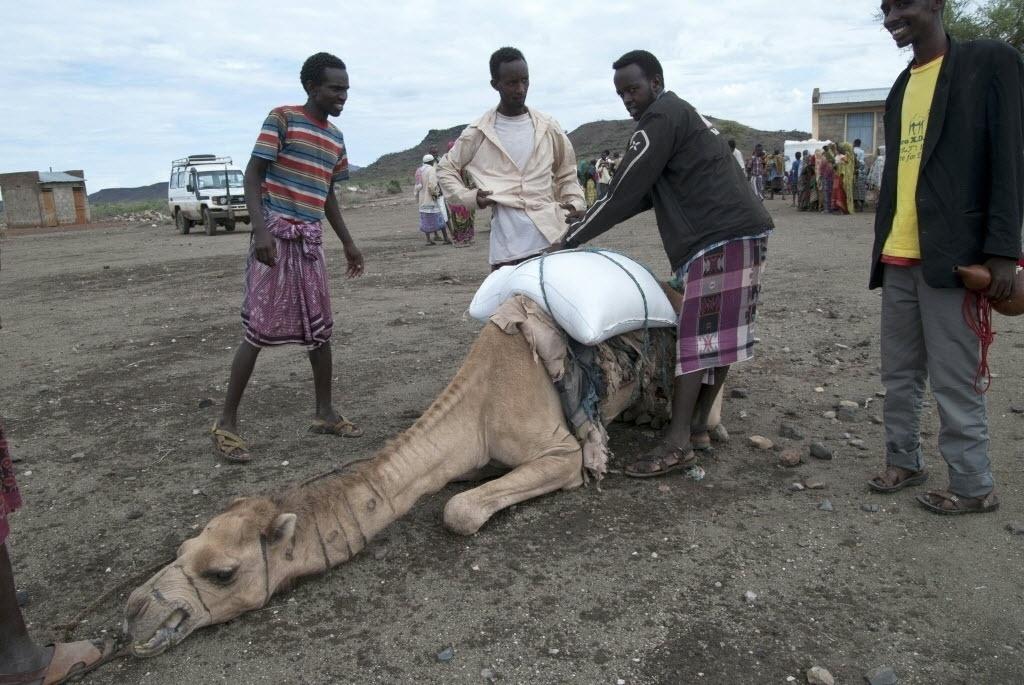 18.abr.2016 - Grupo observa camelo transportador de cargas desfalecido em Sitti Zone, região somali da Etiópia. O local é um dos mais afetados pela seca causada pelo fenômeno climático El Niño. A Etiópia luta para combater a sua pior seca em 30 anos, que já deixou ao menos 10,2 milhões de pessoas com necessidade de auxílio alimentar