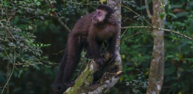 Suspeita-se que os macacos encontrados mortos em Três Corações (MG) e Guaranésia (MG) tenham sido infectados pela febre amarela - IStock