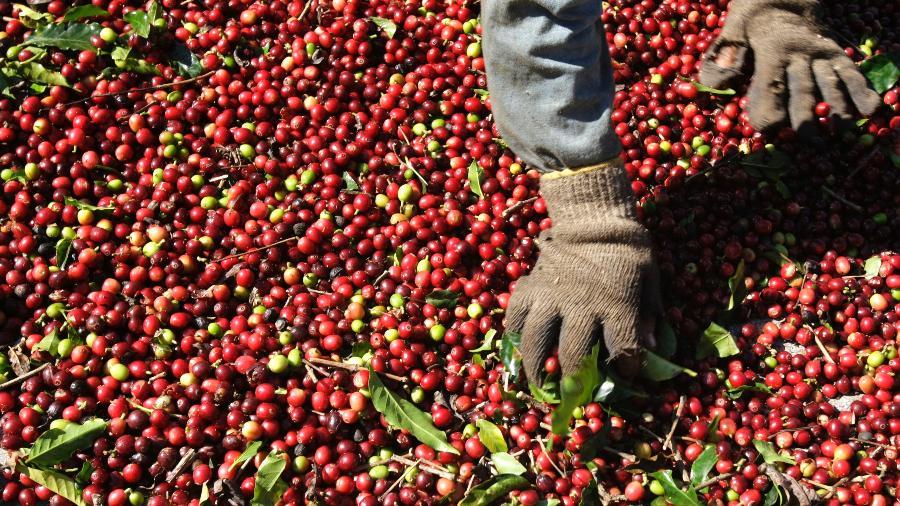 Trabalhador seleciona grãos de café arábica após colheita em Alfenas (MG) - Paulo Whitaker