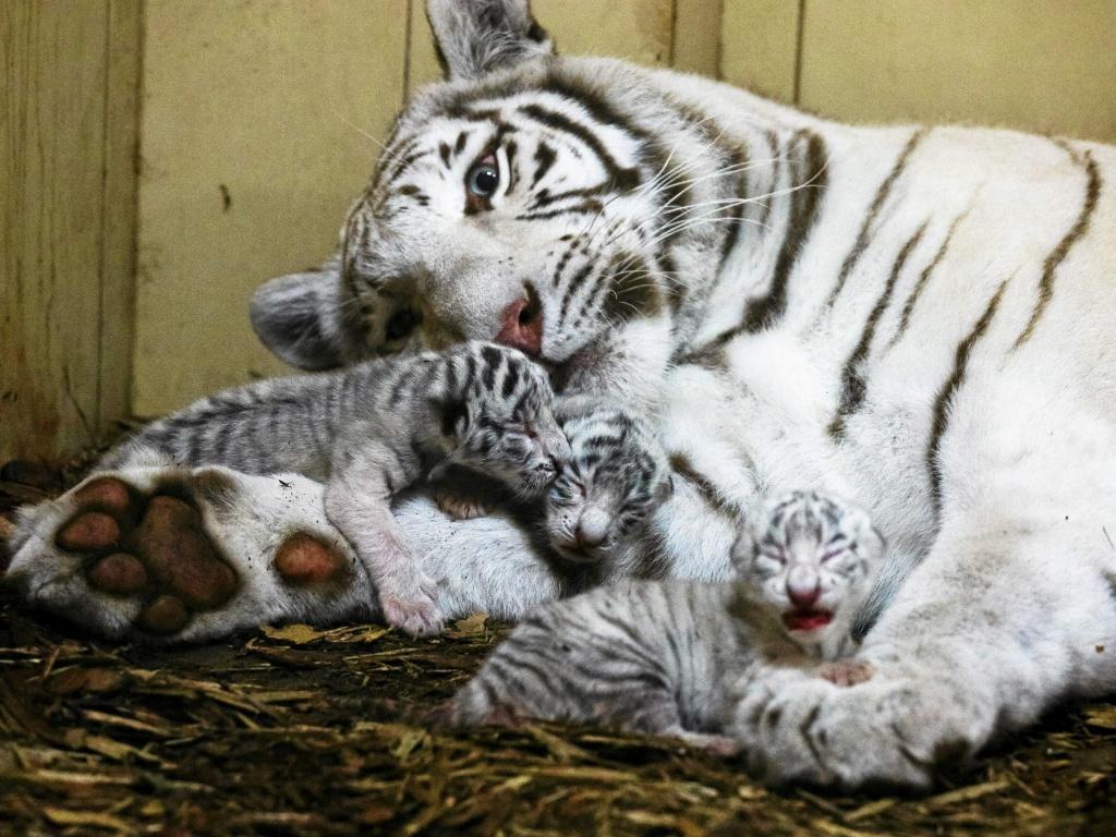 23.set.2016 ? Zoológico particular na Borysew, na Polônia, divulga imagens dos filhotes de tigre-de-bengala que nasceram recentemente na propriedade. Os tigres brancos são extremamente raros, havendo apenas algumas centenas em todo o mundo. E eles não são albinos, sua aparência se deve um gene recessivo
