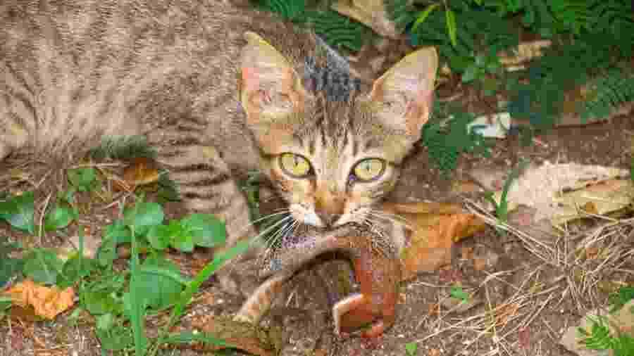 Gato feral predando uma mabuia, lagarto que só existe em Fernando de Noronha - Divulgação