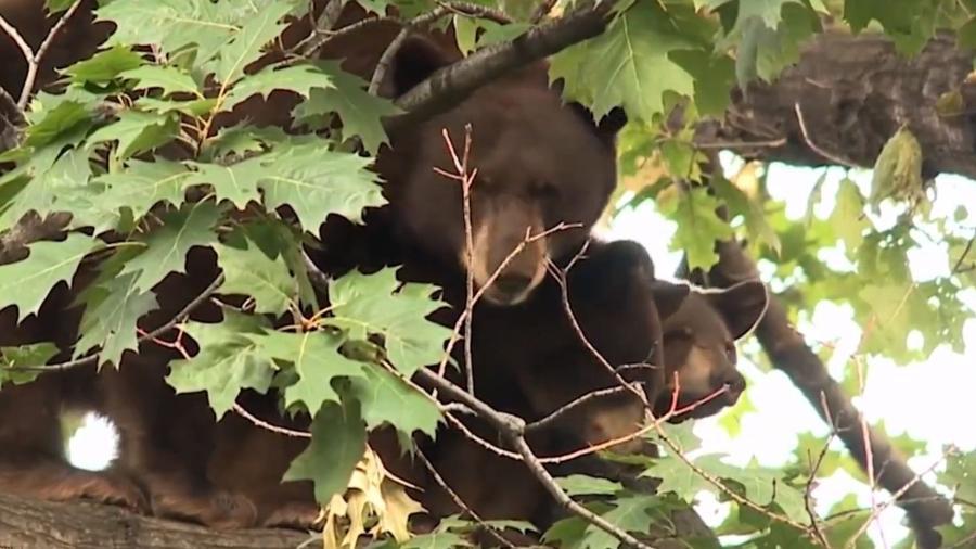 Três ursos foram sacrificados depois que uma mulher foi morta ao ser atacada pelos animais - Reprodução/WGNTV